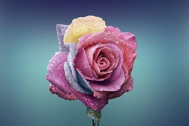 rose-729509 640
